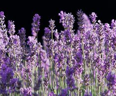 'Munstead' English Lavender - Many gardeners call 'Munstead' their favorite lavender because the plant is quite compact, displays violet-purple flowers in mid- to late spring, and shows off attractive silvery foliage. Like 'Hidcote', it's known for its strong fragrance