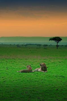 ♂ Amazing nature wildlife photography lion couple green world Kenya Africa Kenya Africa, Out Of Africa, Kenya Nairobi, South Africa, Zimbabwe Africa, African Animals, African Safari, African Cats, Beautiful World
