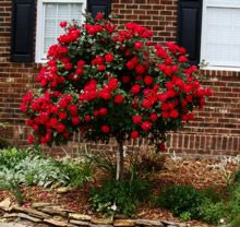 Double Knockout Rose Tree | Knockout Rose Trees