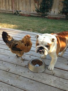 "❤ ""Mom --- isn't the chicken suppose to ALREADY be in my bowl?"" ❤ Posted from I love English Bulldogs"