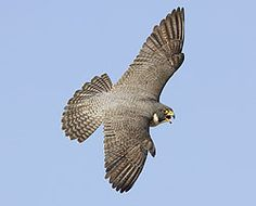 Peregrine falcons at San Jose City Hall draw crowds online