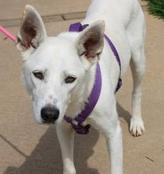 Snow: Beautiful white shepherd, returned from adoption, needs a special family ADOPTED