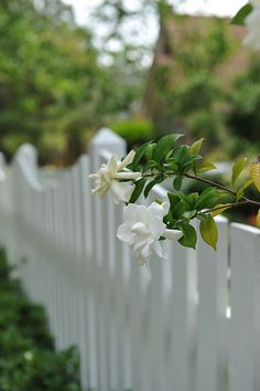 A White Picket Fence with White Flowers. White Roses, White Flowers, Beautiful Flowers, White Cottage, Rose Cottage, Garden Fencing, Garden Landscaping, White Picket Fence, Picket Fences