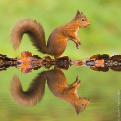 Upon reflection, perhaps I should hightail it outa here.... Red Squirrel