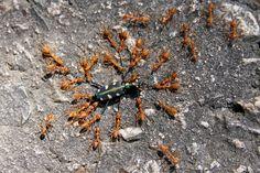 http://upload.wikimedia.org/wikipedia/commons/c/c1/Ants_fight_beetle.jpg