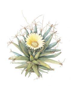 Leuchtenbergia principis, Common Name: Agave Cactus, Artist: Meriel Thurstan