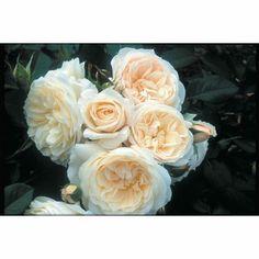 Rosa 'Parky'