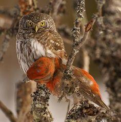 Eurasian Pygmy Owl with dinner...