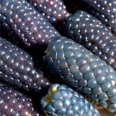 Miniature Blue popcorn Blue Popcorn, Rainbow Corn, Rainbow Fruit, Glass Gem Corn, Popcorn Seeds, Meat Substitutes, Purple Reign, Exotic Fruit, Gardens