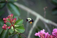 bee on crape myrtle