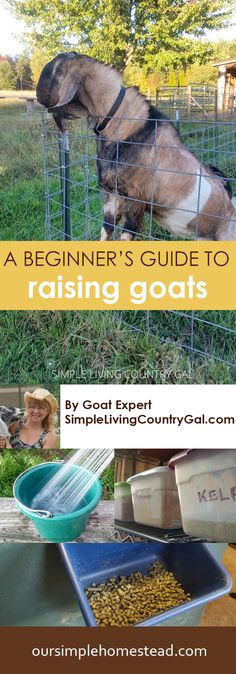 A Beginner's Guide to Raising Goats - This quick start guide will not make you a goat raising expert by any means, but it will answer a few of the big questions on what you need in place before you bring a dairy goat home.