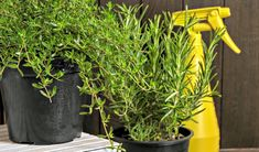 herbs in black pots next to a yellow spray bottle. Green Onions Growing, Growing Greens, Oil Garden, Pots, Cactus, Square Foot Gardening, How To Grow Taller, Garden Types, Best Essential Oils