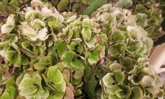 #Hydrangea #Hortensia Green/White/Red ; Available at www.barendsen.nl