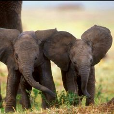 this is going on my for the home board because one day I want to have two baby elephants... because you can't have just one they are social animals <3