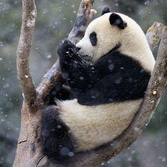 Nach wie vor gibt es viele Tierarten, die vom Aussterben bedroht sind. Mithilfe Ihrer Spenden setzt sich der WWF weltweit für ihre Rettung ein.