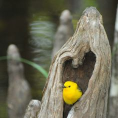 Prothonotary Warbler peeking out of a heart shaped tree hole! Photo by Mark Musselman USFWS. The first time I saw this bird I was hooked on  the birding world! I was riding my bike at Chincoteague National Wildlife Refuge, Virginia, I stopped to take a drink of water, this beautiful bird was hopping in the vegetation and on the ground right in front of me. Didn't mind that I was that close by, it was LOVE at first sight!
