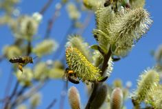 Remedios naturales para aliviar los síntomas de la #alergia