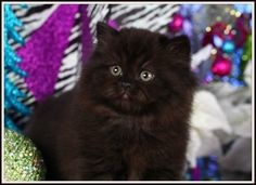persian kittens.  black color | Solid Black Teacup Persian Kitten