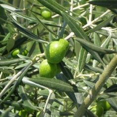 Grow olive trees in containers at home. Now to find a place with olive trees in Canada...