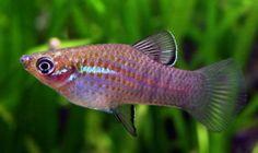 phallichthys fairweatheri - Google Search
