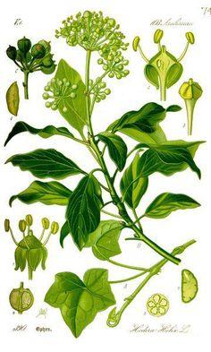 Der Efeu ist wunderschön, giftig und zugleich unheimlich nützlich. Du kannst ihn zum Wäschewaschen nutzen und gegen Blattläuse und Cellulite einsetzten.