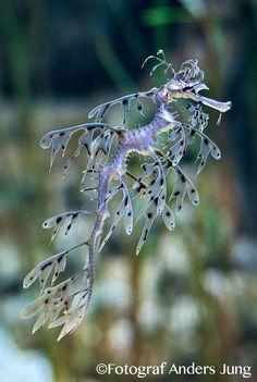 leafy sea dragon                                                                                                                                                                                 More
