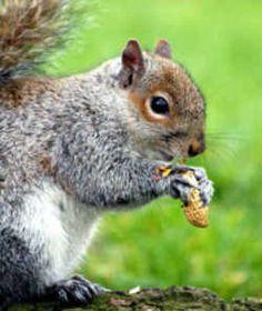 State Symbol: Kentucky State Game Animal: Grey Squirrel