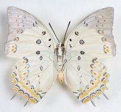 Polyura purrhus