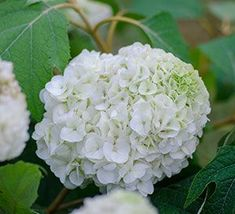 How to identify and properly prune your summer beauties Types Of Hydrangeas, Pruning Hydrangeas, Types Of Flowers, Large Flowers, Planting Flowers, Hydrangea Tree, Hydrangea Not Blooming, Hydrangea Garden, Smooth Hydrangea