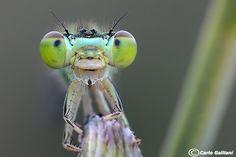 Ishnura pumilio | Flickr: partage de photos!
