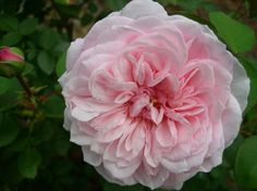 'Mystic Beauty' a Bourbon rose   Photo: Roses Unlimited