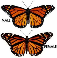 New Ideas Tattoo Butterfly Monarch Wings Butterfly Garden Plants, Butterfly Feeder, Monarch Butterfly Tattoo, Butterfly Wings, Butterfly Tattoos, Purple Butterfly, Monarch Butterfly Meaning, Butterfly Outline, Butterfly Quotes