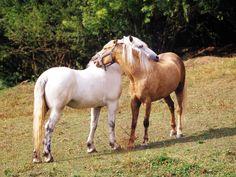brown horse kiss white horse