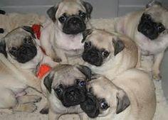 pugs - Bing Images