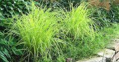 Carex elata 'Aurea' - 60cm