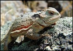 mountain horned lizard | Mountain Short Horned lizard Flagstaff AZ | Flickr - Photo Sharing!