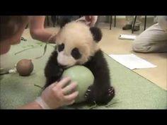 Панде подарили мячик)) - YouTube