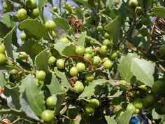 Rhoicissus tridentata AC2 Ac2, Climbers, Creepers, Fruit, Plants, Food, Nuthatches, Eten, Planters