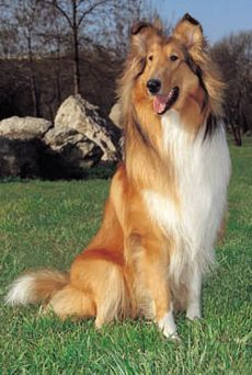 """This is what my """"Bernie"""" will look like. She's going to be the best behaved and classiest dog out there."""