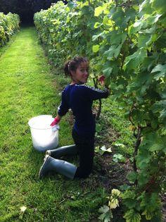 =|||=Oatley Vineyard (Somerset) Madeleine Angevine harvest 2013