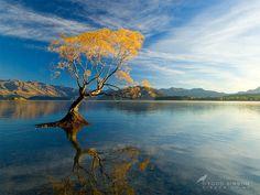 Lake Wanaka, New Zealand - Autumn Willow  Sarah Sisson