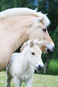Norwegian Fjord Mare & colt - from Heels down, Hopes up.