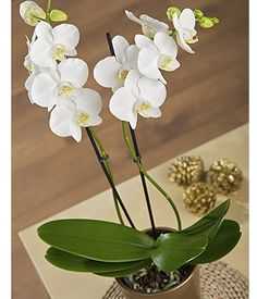 Christmas Orchid - A stunning white twin stemmed Phalaenopsis Orchid plant delivered in a stylish and festive gold pot. #christmas #flowers #bunchesuk