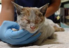 Kitten makes 6,500 mile trip on LA-bound ship (Department of Animal Care and Control via AP)