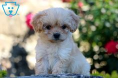 Baby | Cavachon Puppy For Sale | Keystone Puppies Cavachon Puppies, Newborn Puppies, New Puppy, Puppies For Sale, Baby Animals, Dogs, Cute, Baby Pets, Pet Dogs