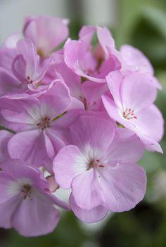 Helgan pelargoni - Viherlandia Beautiful Flowers, Rose, Nature, Plants, Pink, Naturaleza, Plant, Roses, Nature Illustration