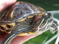 Red-eared sliders ... sweet turtles!  They are my favorite - especially when they are baby teeny tiny ones. :)