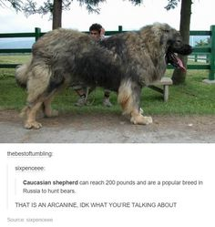 Real life Arcanine More memes, funny videos and pics on Animal Facts, Animal Memes, Funny Animals, Cute Animals, Russian Bear Dog, Caucasian Shepherd Dog, Pokemon, Huge Dogs, Wolf