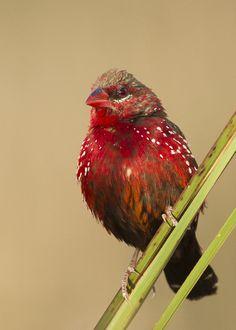**Strawberry Finch - Male