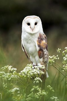 What kind of owl is this?  a snowy owl? or a barn owl? or something else?